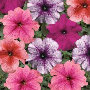 Petunia Multiflora