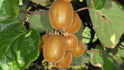 Actinidia chinensis syn. Deliciosa