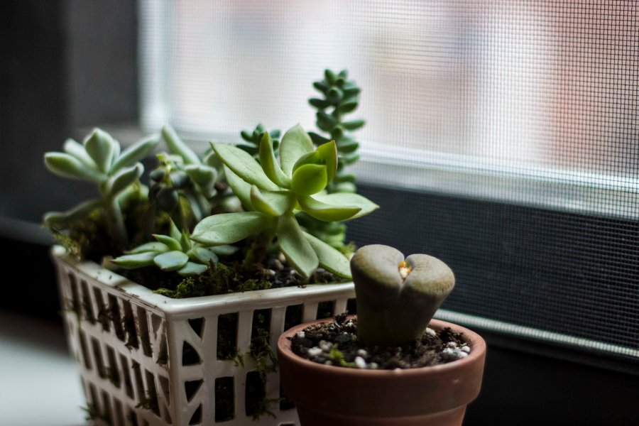 A variety of succulents are a lively addition to a dorm, and are easy to maintain.