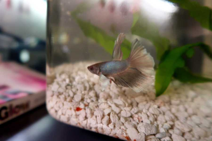 Fish+are+an+easy-to-maintain+pet+for+several+NYU+students.+%28Staff+Photo+by+Chelsea+Li%29