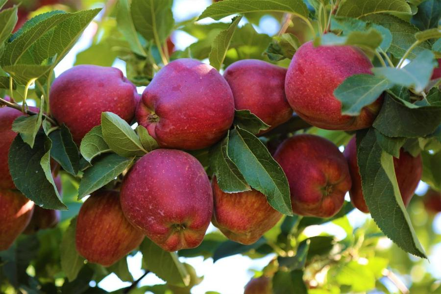 Fresh, ripe apples may be a hard find in the city, so check out these apple-picking locations if you're looking for a fun fall activity. (Via Pixabay)