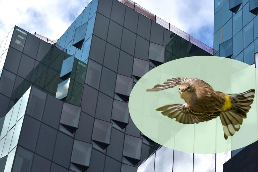 181 Mercer St., NYU's new building, is being built with special glass windows to reduce energy usage and help prevent bird collisions. Up to 230,000 birds die every year in New York City from these collisions. (Staff Photo and Illustration by Ryan Kawahara)