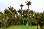 Palm trees in Punakaiki