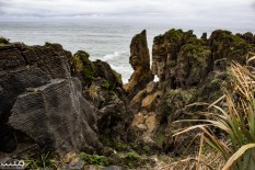 Punakaiki Pancake Rocks is part of Paparoa National Park. The pancake rocks are made of layered limestone made up of millions of fossilized hard and soft layers of sea creatures, plants, sediment, and microorganisms over many thousands of years--now eroding away from the wild Tasman waves.