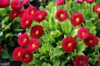 A pretty fuschia flower in the Rotorua Government Gardens