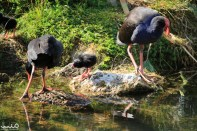 Pukeko birds and chicks in the pond at the Rotorua Government Gardens