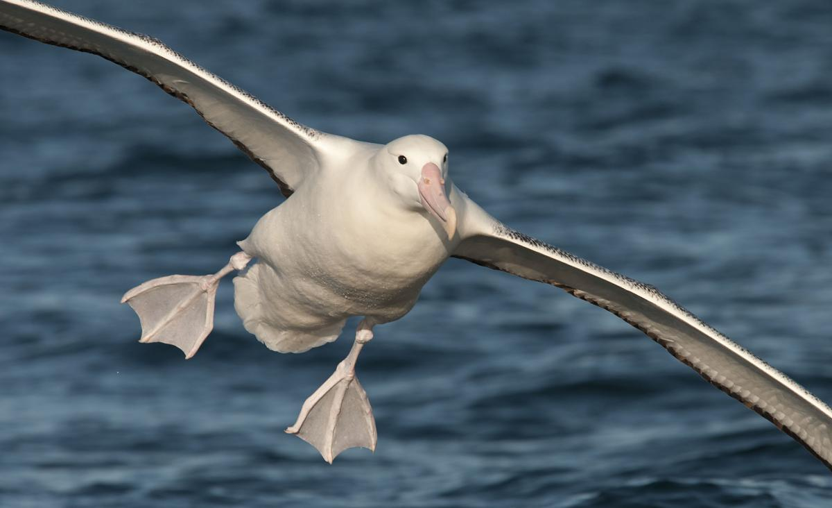 https://i2.wp.com/nzbirdsonline.org.nz/sites/all/files/1200126Southern_Royal_Albatross_20130105_Kaikoura_NZ_05.jpg