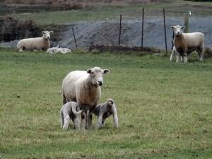 14aug canterbury lamb3