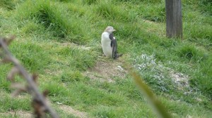 イエローアイドペンギン10月29日ペンギンプレイスにて