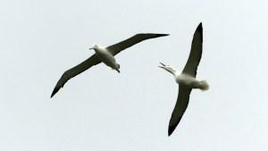 2羽のロイヤルアルバトロスの滑空10月28日オタゴ半島にて