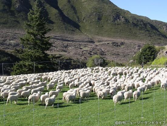 【動画】生まれたての子羊&羊の大移動