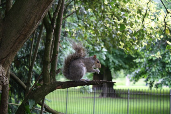 Squirrel on a branch, London park
