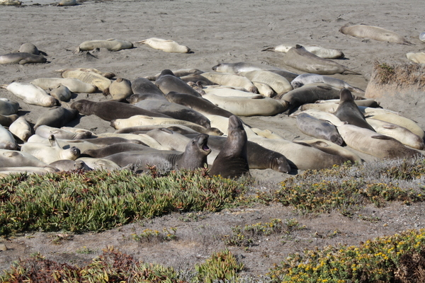 elephant seals on the beach california coast pacific highway near san simeon