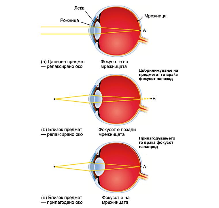 Слика 2. Леќите во окото се флексибилни и ја менуваат својата форма во зависност од далечината на предметите. Нивната задача е да ја поместуваат фокусната точка врз мрежницата. © Cengage Learning2