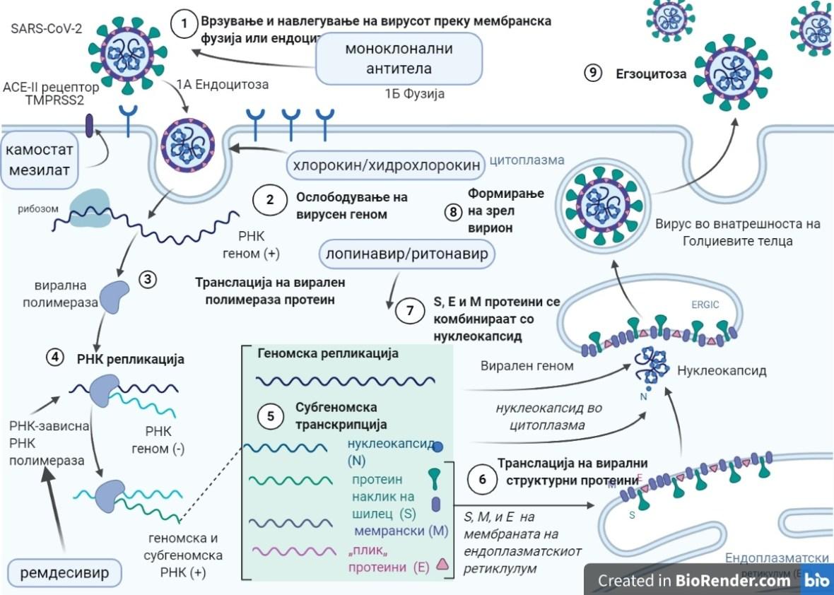 Слика 2. Циклус на репикација на SARS-CoV-2 и механизми на делување на фармаколошките агенси вклучени во клиничкото испитување СОЛИДАРНОСТ.