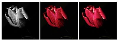 Flowers_2011-09-25_10-15-18_Flowers_ Triptych_©RichardLaing(2011)