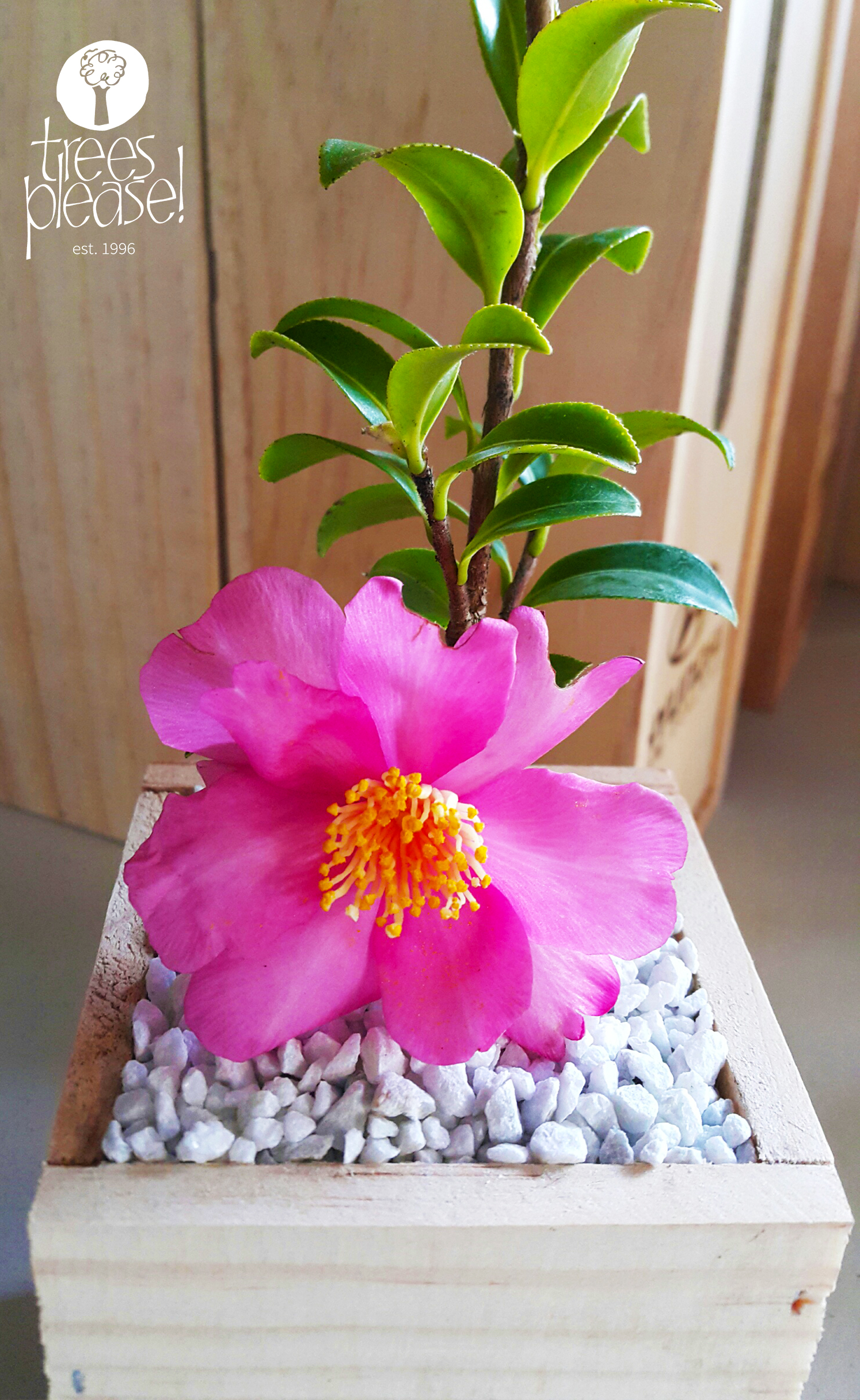 Top Tips for Camellias