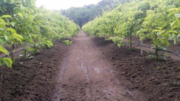 Jonge kiwibesplantage bij O'Bio