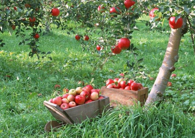 Biologische appels in bak onder halfstamboomgaard