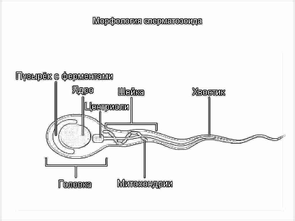 Препараты для улучшения подвижности сперматозоидов
