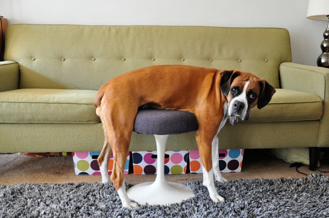 stuck pets, pets stuck pretending everything is cool, dog stuck on table