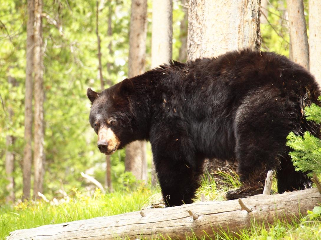 Black Bear in Jackson Hole