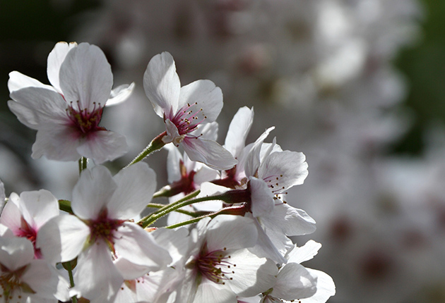 General Imagery Of Cherry Blossom In Bloom