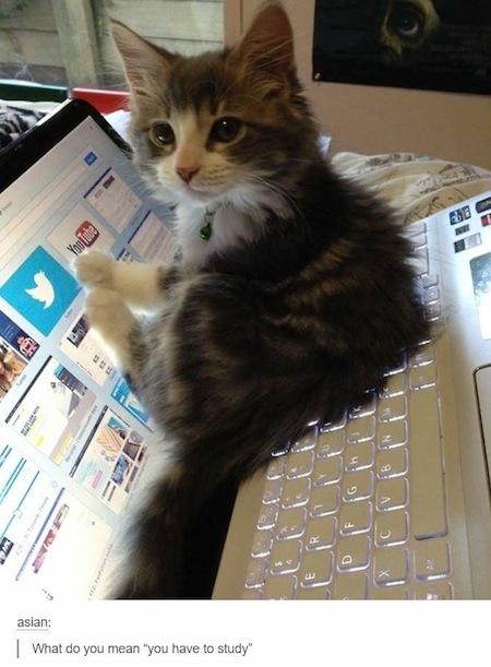 weird cats, evil cats, kitten on laptop