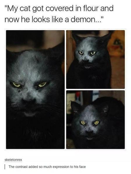 weird cats, evil cats, cat flour face