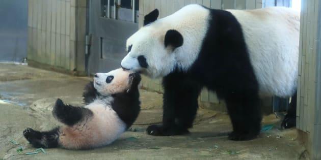 母パンダのシンシン(右)と子パンダのシャンシャン