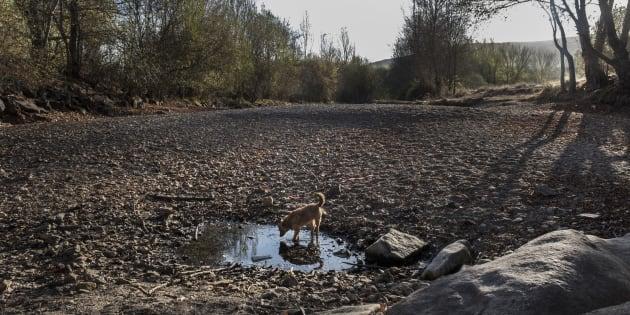 Un perro bebe en el charco que queda en el río Támega, en Verín, Ourense.