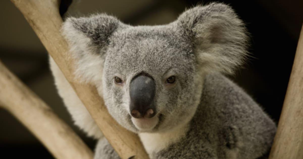 Rchauffement Climatique Le Koala Australien Menac De