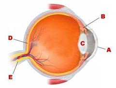 *Anatomy Eye structure flashcards   Quizlet