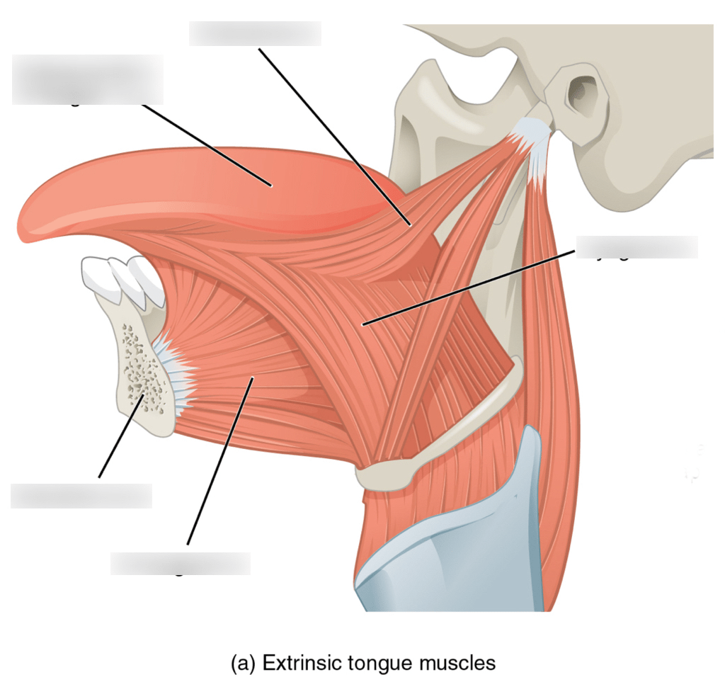 32 Label The Tongue Diagram