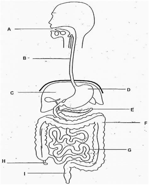 Digestive System And Nutrition Quizlet - Nutrition Pics