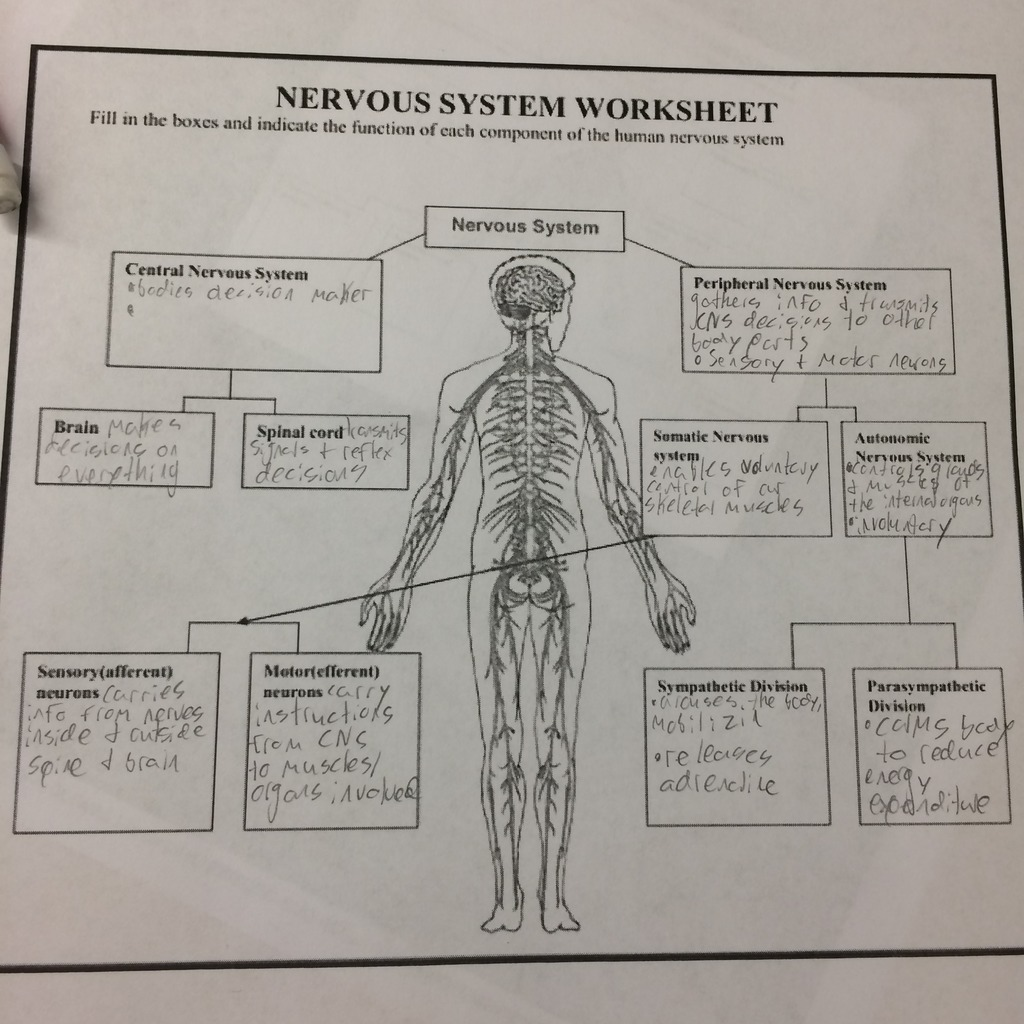 Nervous System Diagram Worksheet