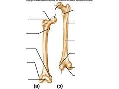 Appendicular Skeleton Labeling Flashcards