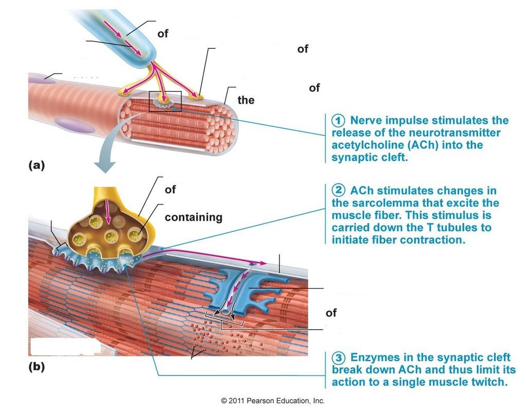 Diagram Neuromuscular Junction