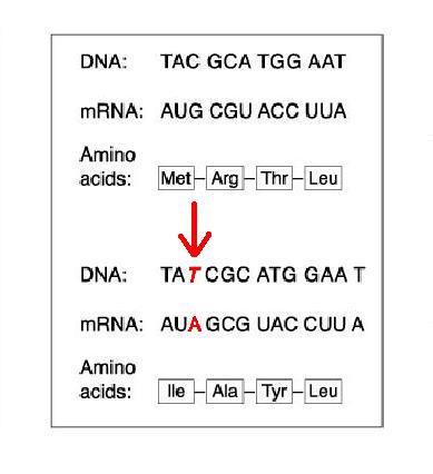 What Is A Frameshift Mutation Quizlet