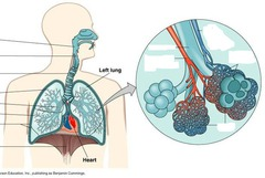 Module 1 The Respiratory System Anatomy And Physiology