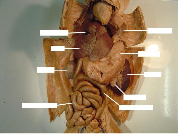 Cat Digestive System Quizlet
