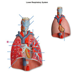 Combo With Lung Model Diagram And 5 Others Flashcards