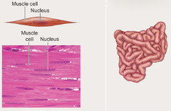 HA - Unit 2 - Muscles and Muscle Structure flashcards ...