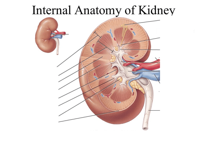 By Photo Congress || Anatomy And Physiology Urinary System