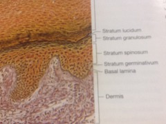 Anatomy Section Three Integumentary System flashcards ...