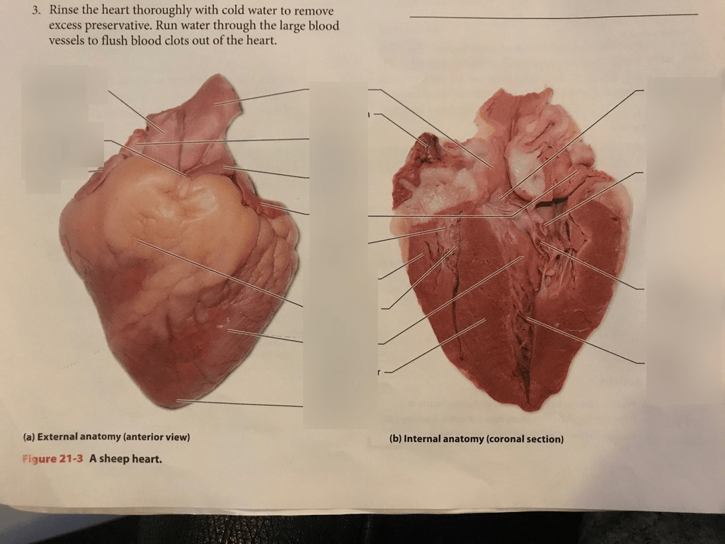 Diagram Of Cow Heart Anatomy