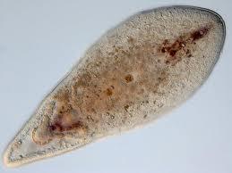 Phylum Acoelomorpha Flashcards Quizlet
