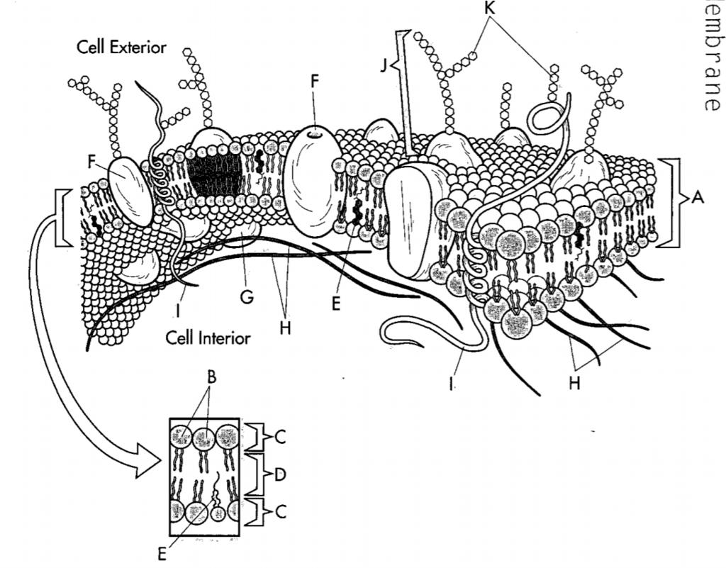 31 Label Cell Membrane Diagram