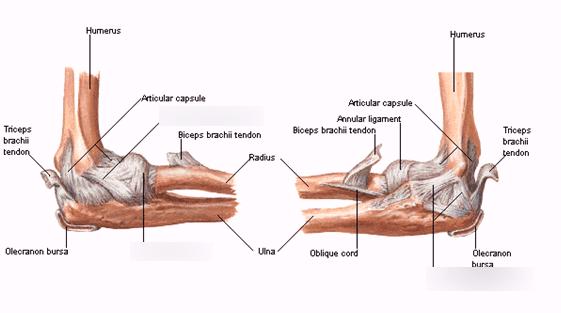 Elbow Ligaments Anatomy - Anatomy Drawing Diagram
