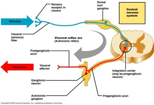 1 Autonomic Nervous System flashcards   Quizlet